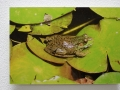 Acrylic Print: Green Frog on Green Lilypads