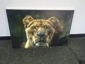 Canvas Backlit Print: Lion
