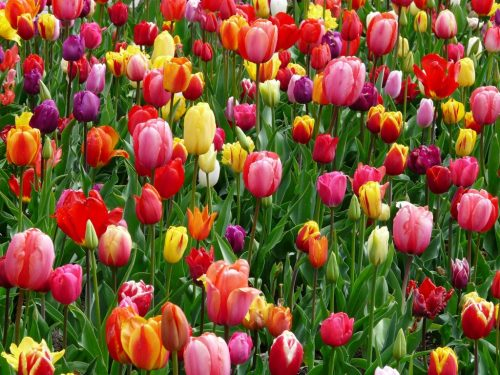 red-purple-and-yellow-tulip-fields-69776