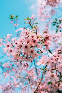 pink wall decor of cherry blossoms